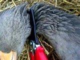 Humane Bird Dispatcher ganzen doder