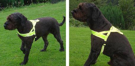 Borstharnas geel grote hond